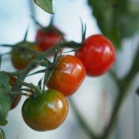 トマトの種類|大玉・中玉・小玉の代表品種は?それぞれの特徴は?の画像