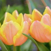 3月の誕生花|日別の花一覧と花言葉は?3月生まれの人に贈ろう!の画像