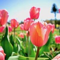 チューリップの花言葉|色・本数・種類別の意味は?開花時期や種類は?の画像