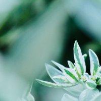 ハツユキソウ(初雪草)の花言葉 花や葉の特徴、人気の種類は?の画像