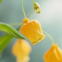 サンダーソニア(クリスマスベル)の花言葉|意味や由来、花の特徴は?の画像