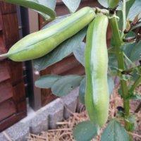 そら豆(空豆)の花言葉|花や実の特徴、種類や栄養は?の画像