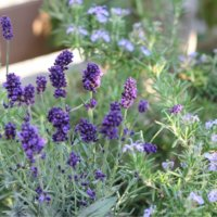 イングリッシュラベンダーの花言葉|意味や種類、花の特徴は?の画像