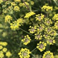 フェンネル(ウイキョウ)の花言葉|花の種類や効能、食べ方は?の画像