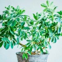 シェフレラ(カポック)の育て方  植え替えや挿し木の方法は?水栽培もできる?の画像