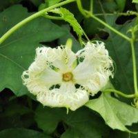カラスウリ(烏瓜)の花言葉|花の不思議な特徴や種類は?の画像