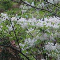 アオダモの花言葉|花や木の特徴、紅葉も楽しめる!の画像