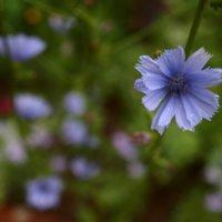 チコリの花言葉|意味や由来は?花の種類や効果効能とは?の画像