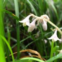 リュウノヒゲ(龍の髭)の花言葉|花や実の特徴、グランドカバーおすすめ!の画像