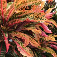 クロトンの花言葉|花や葉の特徴、人気の種類や風水は?の画像