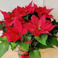 12月の誕生花|日にちごとの花の一覧や花言葉、フラワーギフトにもおすすめ?の画像