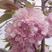 八重桜(ヤエザクラ)の花言葉|意味や種類、花の開花時期は?の画像