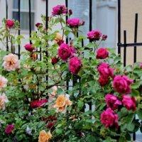 目隠し効果も◎庭のフェンスに這わせて育てたいつる性植物10選の画像