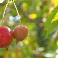 ヒメリンゴ(姫りんご)の花言葉|意味や由来は?花や実がつく時期は?の画像