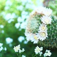 サボテンの花言葉丨怖い意味はある?花の特徴は?の画像
