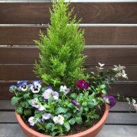 コニファーの花言葉|人気の種類や由来、特徴は?の画像