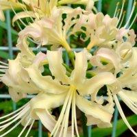 リコリスの花言葉|意味や花の特徴、彼岸花との違いは?の画像