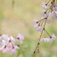 桜に毛虫がつく原因と対策|発生する時期や種類、おすすめの駆除方法は?の画像