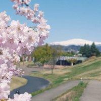 しだれ桜(枝垂れ桜)の花言葉|意味や花の特徴、種類や名所は?の画像