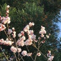 梅の木の剪定|行うべき時期や年数別の仕方は?目的や効果とは?の画像