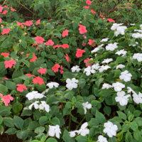 日陰で育つ花|日当たりが悪くても育てられるおすすめの植物は?の画像