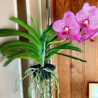 バンダ(ヒスイラン)の花言葉|花の特徴や種類、花色や姿からつけられた名前なの?の画像