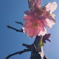 しだれ梅(枝垂れ梅)の花言葉|種類や色で意味は違う?名前の由来は?の画像