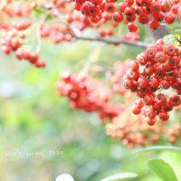 冬のガーデニングにおすすめ!赤い実をつける植物8選の画像