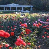 「神代植物公園」に咲くバラ51品種を 3Dオンラインで見てみよう!の画像
