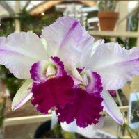 蘭(ラン)の花言葉|意味や代表的な種類、花の特徴は?の画像