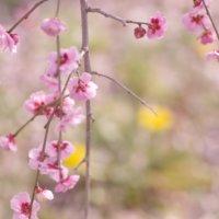 しだれ梅の育て方|剪定の時期は?植え替えや挿し木の方法は?の画像