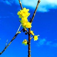 蝋梅(ロウバイ)の育て方|剪定や挿し木の方法は?鉢植えでもOK?の画像
