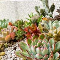 セダムの種類|それぞれの特徴やおすすめは?紅葉する品種は?の画像