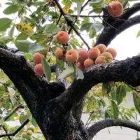 柿の木の育て方|肥料の量、収穫、苗木の鉢植え方法は?寿命はどれくらい?の画像