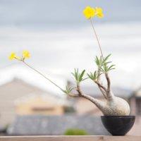 グラキリスの育て方|植え替えのコツは?どんな花が咲く?の画像