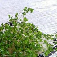 ブロッコリースプラウトの育て方|種から栽培するコツは?どんな栄養・効果がある?の画像