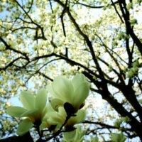 白木蓮(ハクモクレン)の花言葉|花や実の特徴、コブシとの違いは?の画像