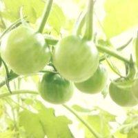 トマト(ミニトマト)が赤くならない原因|対処方法はなにかあるの?の画像