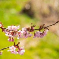桜の木の剪定|時期や方法、切る枝の種類や切ったあとの手入れは?の画像