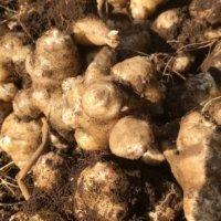 菊芋(キクイモ)の育て方・栽培|収穫時期や保存方法は?どんな栄養がある?の画像