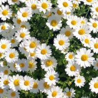 春のガーデニングで植えたい草花15選!花壇やプランターを彩るのは?の画像