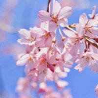 桜の種類のまとめ|それぞれ開花時期はいつ?早咲きの品種は?の画像