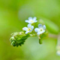 キュウリグサの育て方|どんな花を咲かせる?その特徴は?の画像