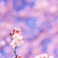 ソメイヨシノ(染井吉野)ってどんな桜?寿命や発祥の地は?自分で増やせる?の画像