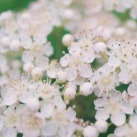 ナナカマドの育て方|植え付けや植え替え、紅葉の時期は?の画像