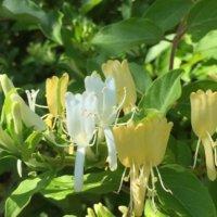 スイカズラ(忍冬)の育て方|土づくりや水やり、植え付けや植え替えの時期は?の画像