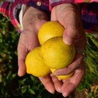 はじめて檸檬|ご挨拶とレモンのルーツをご紹介します〜 No.1〜の画像