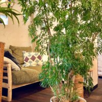 観葉植物のおすすめ40種類!人気なのは?室内で育てやすいのは?の画像
