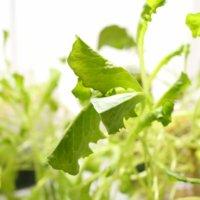 レタスの水耕栽培|時期や方法、収穫はいつできる?の画像
