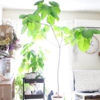 大型の観葉植物12選!おしゃれな種類はどれ?管理のコツとは?の画像